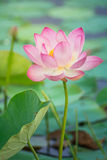 Water lily, Lotus Royalty Free Stock Images