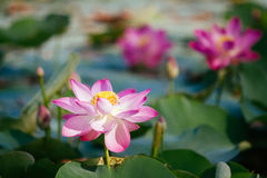 Water lily, Lotus Stock Photography