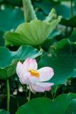 Water lily, Lotus Royalty Free Stock Image