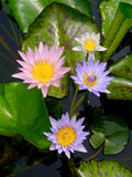 Water lily, lotus. Water lily in the pond Stock Image
