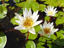 Water lily or Lotus stem Royalty Free Stock Photo
