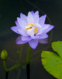Water lily, lotus. Violet flower of water lily Stock Photo
