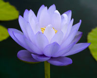 Water lily, lotus. Violet flower of water lily Stock Photos