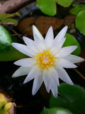 Water lily lotus. White thailand asia royalty free stock photography