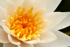 Water Lily Macro Royalty Free Stock Photography