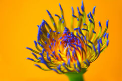 Water Lily Macro. Macro of water lily stamen with colorful background Stock Photo