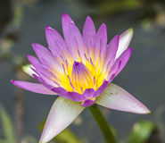 Water lily macro Royalty Free Stock Image