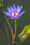 Water lily macro Stock Image