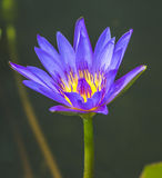 Water lily macro Stock Photography
