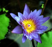 Water Lily Magic. A beautiful water lily Royalty Free Stock Photography