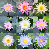 Water lily mixed collection Royalty Free Stock Photography