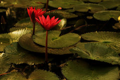 Water lily in morning light. Water lily is a perennial plant that often form dense colonies. It has around 58 species in 6 genera of freshwater plants Royalty Free Stock Photos