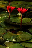 Water lily in morning light. Water lily is a perennial plant that often form dense colonies. It has around  58 species in 6 genera of freshwater plants. Waxy Royalty Free Stock Photography