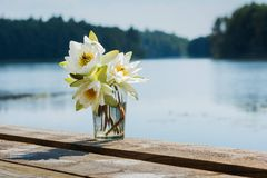 Water lily. Near the lake Stock Image