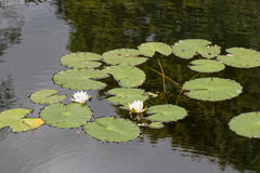 Water lily. Near Moscow suburbs,Clouds, field and lake Royalty Free Stock Images
