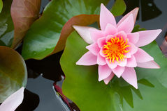 Water lily - nenuphar. A water lily flower bloom Stock Photography
