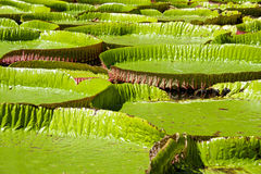 Water-lily, Nenuphar. Gigant Water-lily, Nenuphar, Vitoria regia, one of the most beautiful plants of the Tropic Stock Photos