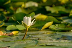 Water Lily nenuphar Nymphaea alba in Danube Delta. Wildlife Europe Romania Stock Image