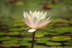 Water lily. Nenuphar, spatter-dock lake marsh pond Royalty Free Stock Photo
