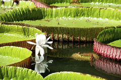 Water-lily, Nenuphar. Vitoria regia, one of the most beautiful plants of the Tropic Royalty Free Stock Image