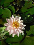 Water Lily in New York Botanical Garden. Stock Photography
