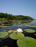 Water Lily on Northern Lake Royalty Free Stock Photo