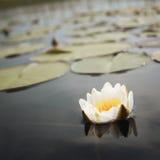 Water lily Nympaea tetragona Georgi. IUCN Red List. Water lily Nympaea tetragona Georgi. IUCN, Red List. Toned photo. White water lilies in the lake. Kenozersky Royalty Free Stock Photos