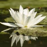 Water Lily, Nymphaea alba. White lily stock photo