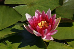 Water-lily, Nymphaea-Hybrid Stock Photo