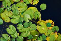 Water lily nymphaea leaves Stock Images