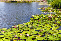 Water lily (Nymphaea). Royalty Free Stock Photos