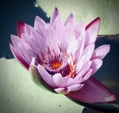 Water Lily `Nymphaeaceae` royalty free stock images