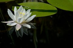 Water lily, Nymphaeaceae royalty free stock images