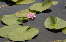Water Lily or Nymphaeum. All is the name of one of the most beautiful aquatic plants kind of Nymphaeum royalty free stock photography