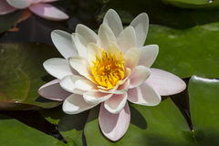Water lily or nymphea in pond Stock Photography