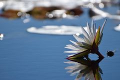 Water lily in the Okavango delta. Picture taken during a mokoro trip Stock Images