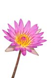 Water Lily On White Royalty Free Stock Photography