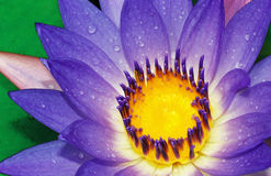 Water lily. An ornamental aquatic plant with large round floating leaves and large, typically cup-shaped, floating flowers. Water lilies are a well studied clade stock images
