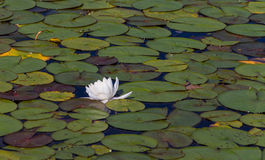 Water Lily Pad Pond Royalty Free Stock Images