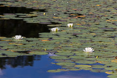 Water lily pad pond Royalty Free Stock Image