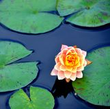 Water Lily. Among the lily pads Stock Photography