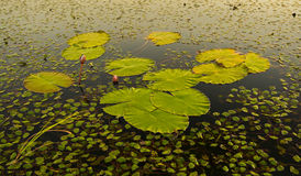 Water Lily Pads Royalty Free Stock Photography