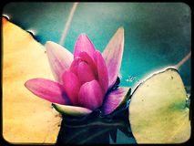 Water lily. And lily pads in a fish pond Stock Images