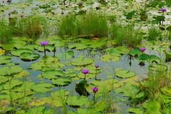 Water lily pads and flowers on dark lake stock image