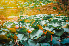 Water Lily Pads In A Lake, Victoria, Australia. Royalty Free Stock Photography