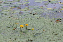 Water lily pads on lake Stock Photography