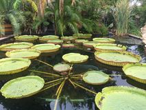 Water Lily pads Royalty Free Stock Images