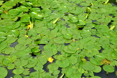 Water Lily pads Stock Photography