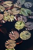Water lily pads in the sunshine stock images