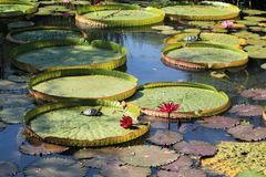 Water lily pads with superb turtles Stock Photos